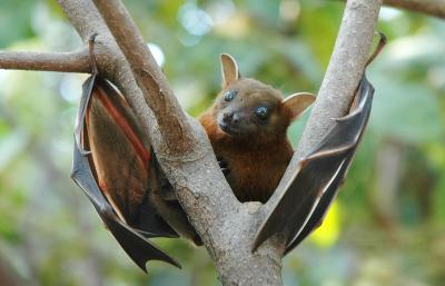 Bat - Lesser Short-Nosed Fruit Bat